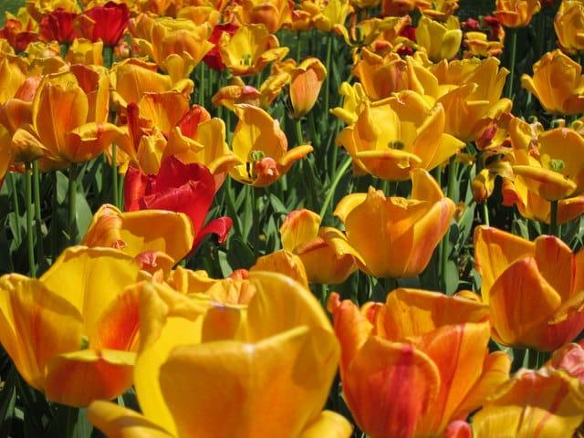 tulipanløg plantning