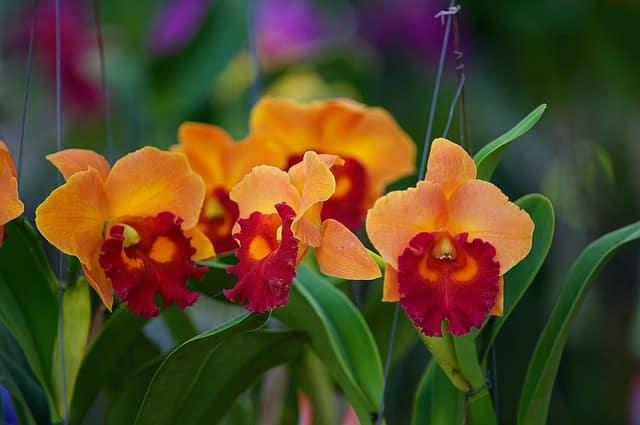 Orkideer i hjemmet og haven