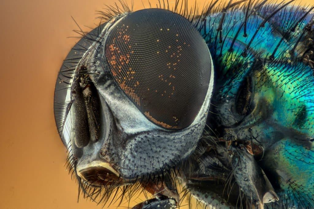Hvad spiser fluer?