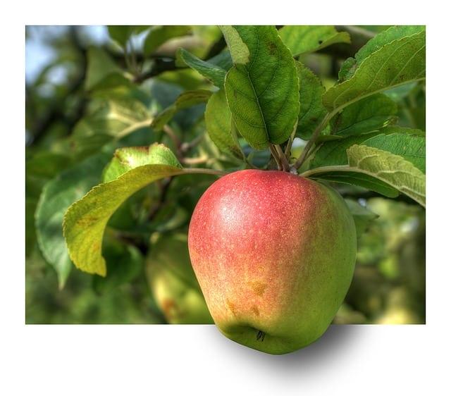 beskæring af æbletræ