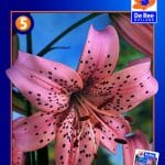 Asiatisk Lilje Pink Tiger -137 - Lilium, Asiatic Pink Tiger