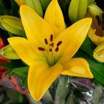 Gul asiatisk lilje