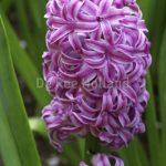 Hyacint Amethyst - 31 - Hyacinths Amethyst