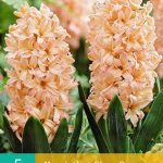Hyacinth Gipsy Queen (nr. E149) - Hyacinths Gipsy Queen