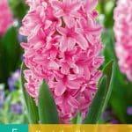 Hyacinth Ibis (nr. E150) - Hyacinths Ibis
