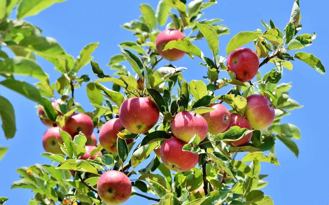 Plantning af æbletræ