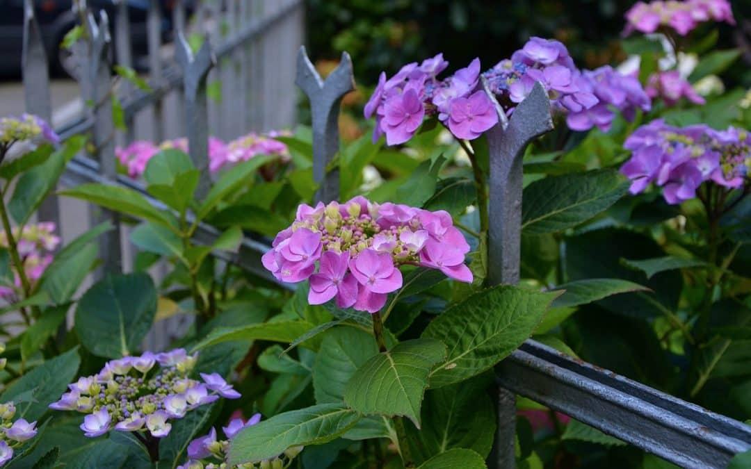 Plantning af hortensia